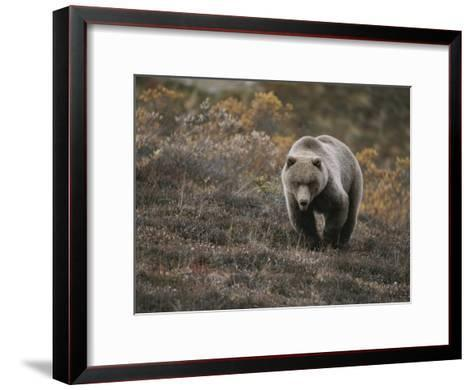 A Grizzly Walks Toward the Camera with a Serious and Threatening Look-Michael S^ Quinton-Framed Art Print
