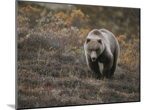 A Grizzly Walks Toward the Camera with a Serious and Threatening Look-Michael S^ Quinton-Mounted Photographic Print