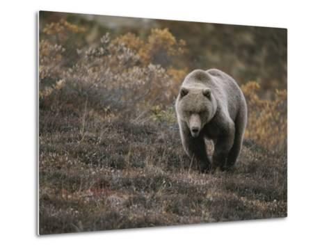 A Grizzly Walks Toward the Camera with a Serious and Threatening Look-Michael S^ Quinton-Metal Print