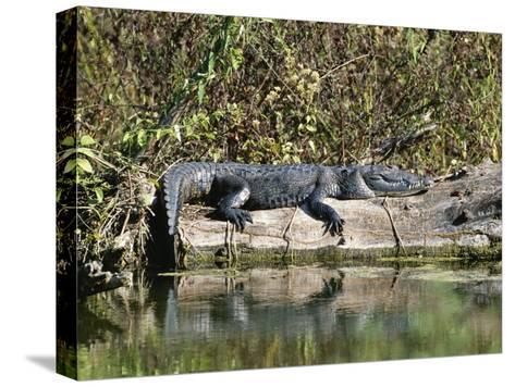 Alligator Basking on Tree Trunk, Belize-Barry Tessman-Stretched Canvas Print