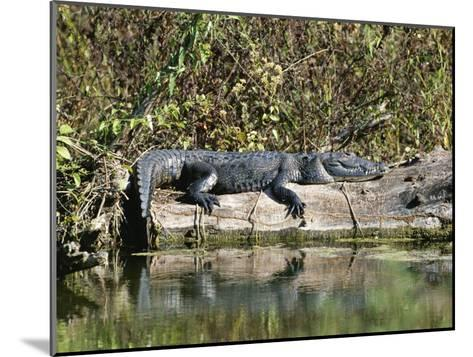 Alligator Basking on Tree Trunk, Belize-Barry Tessman-Mounted Photographic Print