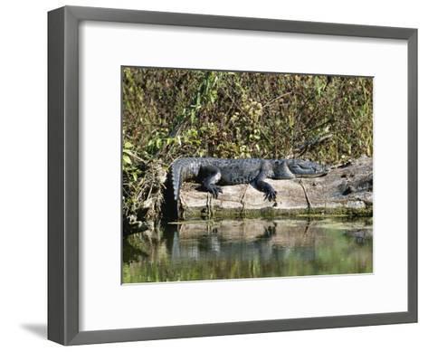 Alligator Basking on Tree Trunk, Belize-Barry Tessman-Framed Art Print