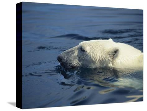 Polar Bear, Wager Bay, Northwest Territories, Canada-Joe Stancampiano-Stretched Canvas Print