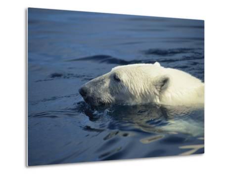 Polar Bear, Wager Bay, Northwest Territories, Canada-Joe Stancampiano-Metal Print