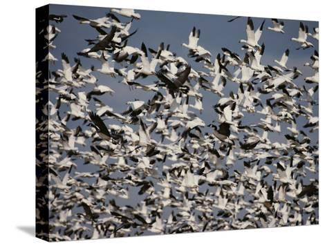 Snow (Chen Caerulescens) and Canada Geese (Branta Canadensis)-Raymond Gehman-Stretched Canvas Print