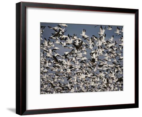 Snow (Chen Caerulescens) and Canada Geese (Branta Canadensis)-Raymond Gehman-Framed Art Print