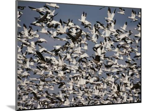 Snow (Chen Caerulescens) and Canada Geese (Branta Canadensis)-Raymond Gehman-Mounted Photographic Print