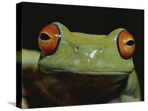 Colorful Close View of Red-Eyed Tree Frog-Jason Edwards-Stretched Canvas Print