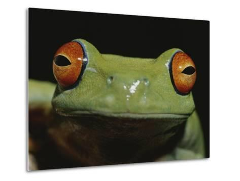 Colorful Close View of Red-Eyed Tree Frog-Jason Edwards-Metal Print