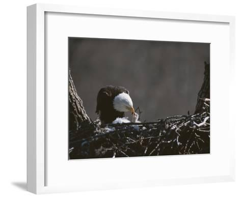 An American Bald Eagle Feeds its Chick-Roy Toft-Framed Art Print