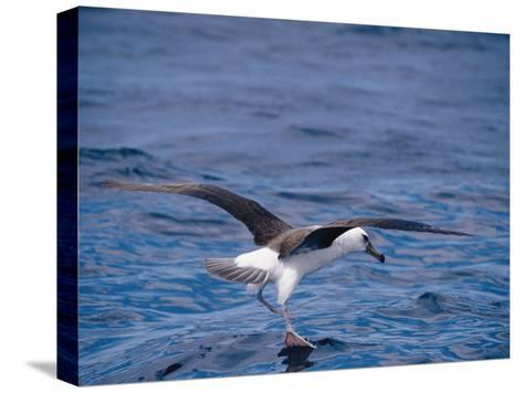 Black-Browed Albatross Fly-Walks over Ocean Surface-Jason Edwards-Stretched Canvas Print