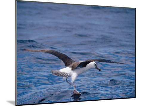 Black-Browed Albatross Fly-Walks over Ocean Surface-Jason Edwards-Mounted Photographic Print