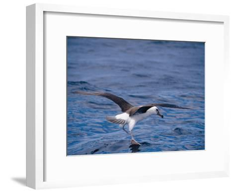 Black-Browed Albatross Fly-Walks over Ocean Surface-Jason Edwards-Framed Art Print