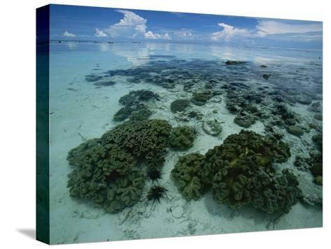 Coral Reef at Low Tide off of Kapalai Island-Tim Laman-Stretched Canvas Print