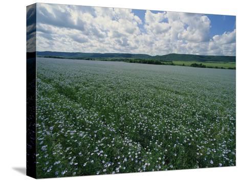 Flax Field, Saskatchewan, Canada-Michael S^ Lewis-Stretched Canvas Print