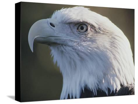 A Close View of the Head of an American Bald Eagle-Joel Sartore-Stretched Canvas Print
