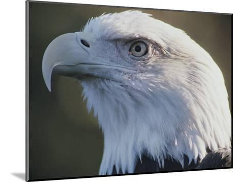 A Close View of the Head of an American Bald Eagle-Joel Sartore-Mounted Photographic Print