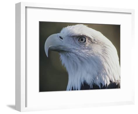 A Close View of the Head of an American Bald Eagle-Joel Sartore-Framed Art Print