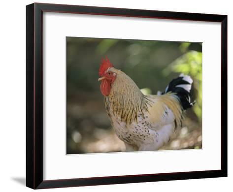 Close View of a Rooster-Joel Sartore-Framed Art Print