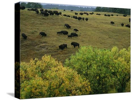 American Bison Graze on Gentle Hills Near Trees Displaying Autumn Foliage-Joel Sartore-Stretched Canvas Print
