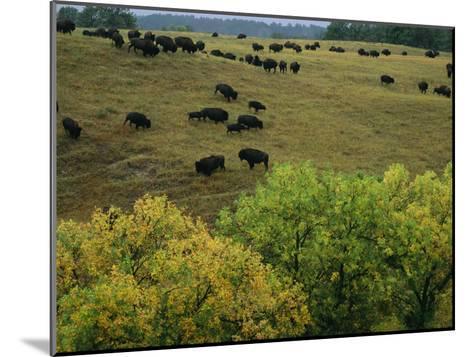American Bison Graze on Gentle Hills Near Trees Displaying Autumn Foliage-Joel Sartore-Mounted Photographic Print