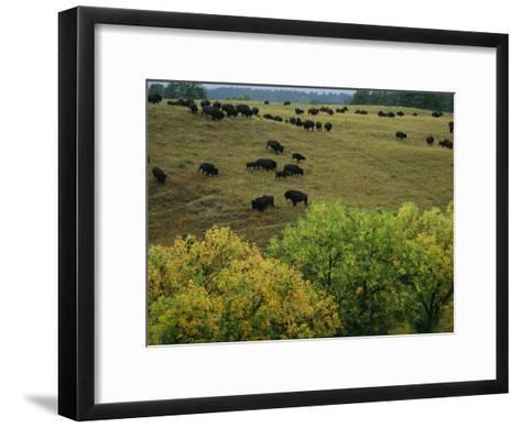 American Bison Graze on Gentle Hills Near Trees Displaying Autumn Foliage-Joel Sartore-Framed Art Print