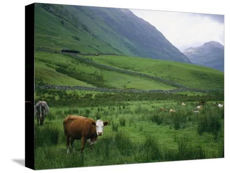 Cattle Graze in Fields Fenced with Stone Walls-Joel Sartore-Stretched Canvas Print