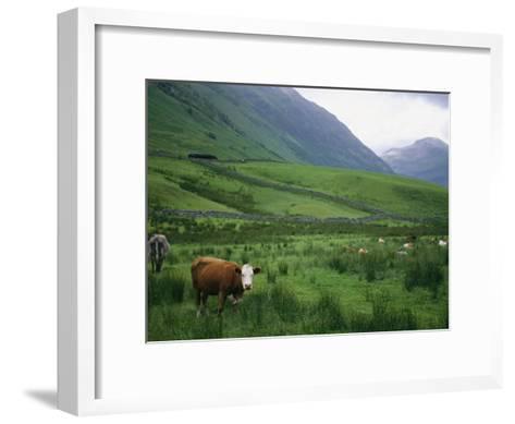 Cattle Graze in Fields Fenced with Stone Walls-Joel Sartore-Framed Art Print