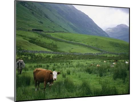 Cattle Graze in Fields Fenced with Stone Walls-Joel Sartore-Mounted Photographic Print