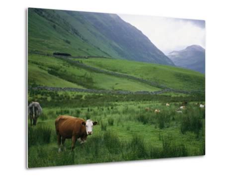 Cattle Graze in Fields Fenced with Stone Walls-Joel Sartore-Metal Print