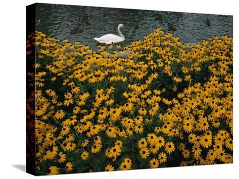 A Swan Swims Past a Beautiful Flower Bed-Raymond Gehman-Stretched Canvas Print
