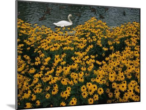 A Swan Swims Past a Beautiful Flower Bed-Raymond Gehman-Mounted Photographic Print