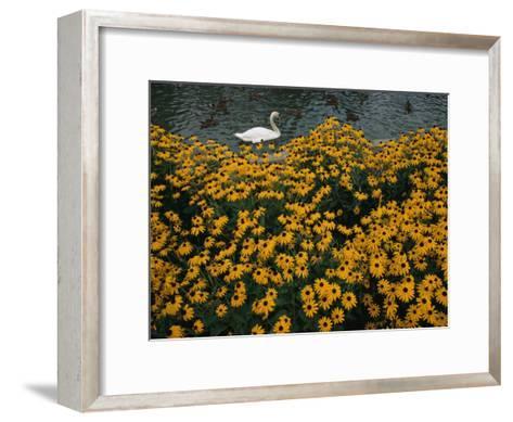 A Swan Swims Past a Beautiful Flower Bed-Raymond Gehman-Framed Art Print