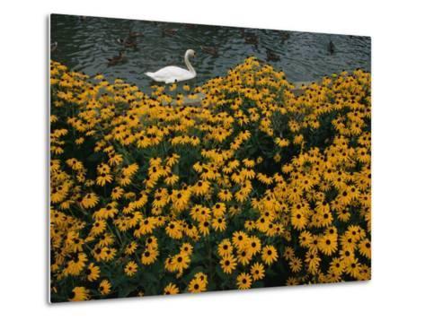 A Swan Swims Past a Beautiful Flower Bed-Raymond Gehman-Metal Print