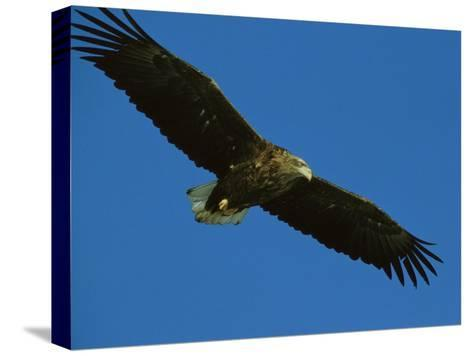 An Endangered White-Tailed Sea Eagle in Flight-Tim Laman-Stretched Canvas Print