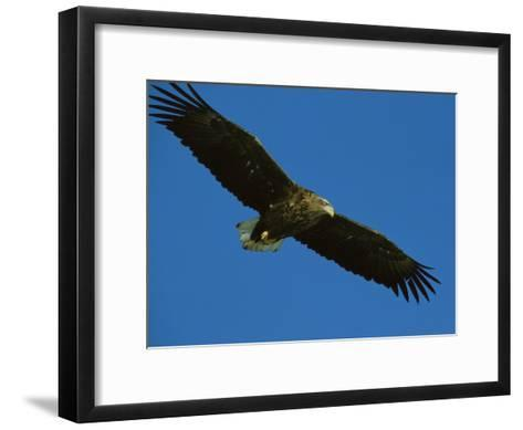 An Endangered White-Tailed Sea Eagle in Flight-Tim Laman-Framed Art Print