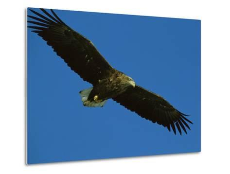 An Endangered White-Tailed Sea Eagle in Flight-Tim Laman-Metal Print