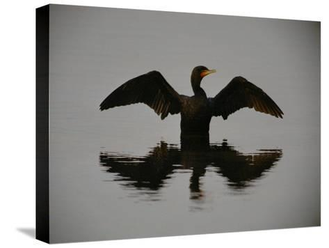 A Black-Faced Cormorant Rising out of the Water-Joel Sartore-Stretched Canvas Print