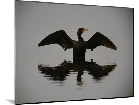 A Black-Faced Cormorant Rising out of the Water-Joel Sartore-Mounted Photographic Print