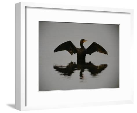 A Black-Faced Cormorant Rising out of the Water-Joel Sartore-Framed Art Print