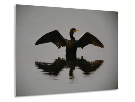 A Black-Faced Cormorant Rising out of the Water-Joel Sartore-Metal Print