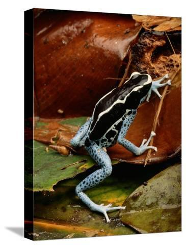 Poison-Dart Frog-George Grall-Stretched Canvas Print