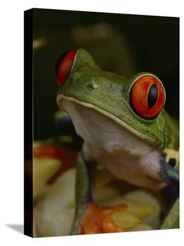 Red-Eyed Tree Frog-Michael Nichols-Stretched Canvas Print