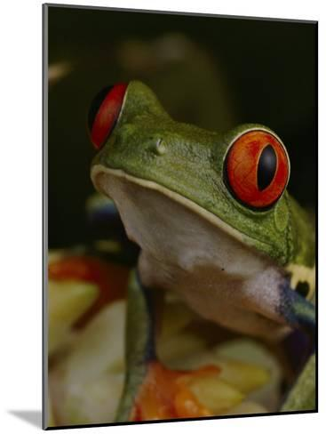 Red-Eyed Tree Frog-Michael Nichols-Mounted Photographic Print
