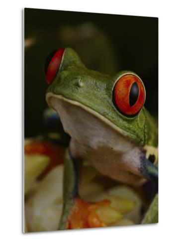 Red-Eyed Tree Frog-Michael Nichols-Metal Print