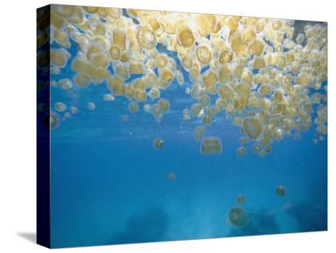 Sea Thimble Jellyfish-Bill Curtsinger-Stretched Canvas Print