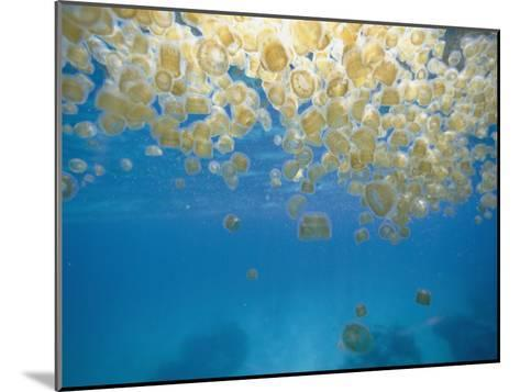 Sea Thimble Jellyfish-Bill Curtsinger-Mounted Photographic Print