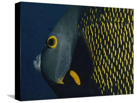 A Close View of a French Angelfish-Bill Curtsinger-Stretched Canvas Print