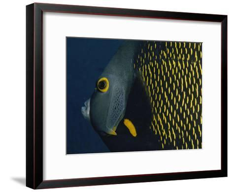 A Close View of a French Angelfish-Bill Curtsinger-Framed Art Print