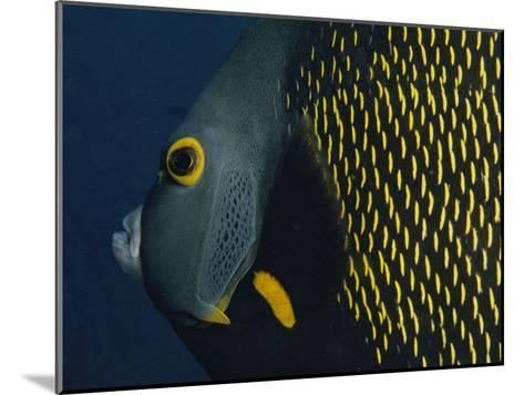 A Close View of a French Angelfish-Bill Curtsinger-Mounted Photographic Print